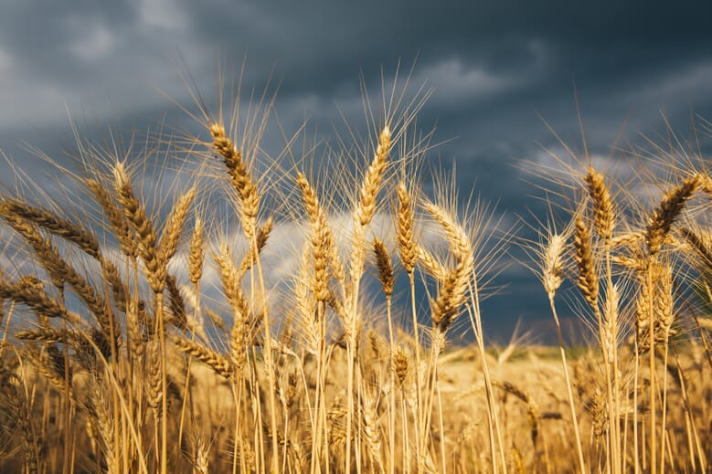 Photo of a Wheat Field