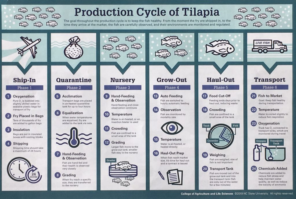 Production Cycle of Talapia chart image